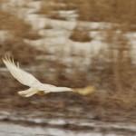 Common buzzard photographed by Daniel Petrescu in the Danube Delta