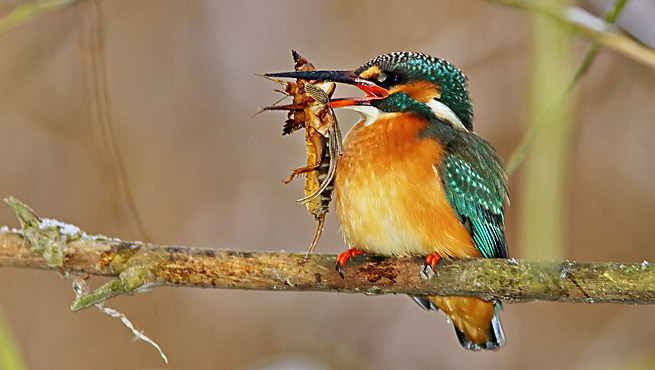 Common Kingfisher (Alcedo atthis) -Pescarelul Albastru photography