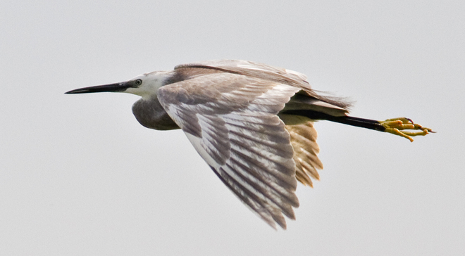 Little Egret – Egreta garzetta hybrid in the Danube Delta