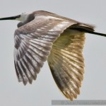 Egreta garzetta hybrid