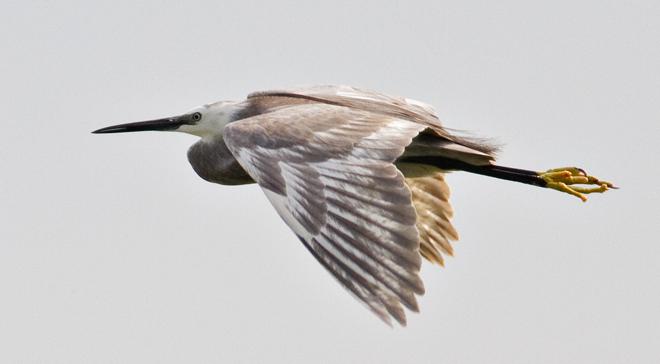 Little Egret – Egreta garzetta hybrid in the Danube Delta
